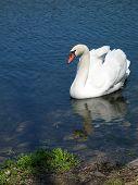 swan at hidden lake gardens poster