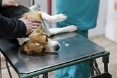 Dog at the vet in the surgery preparation room. poster