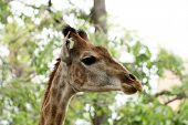 Close-up of nice spotty giraffe muzzle with long neck poster