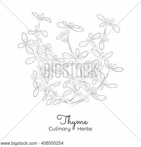 Hand Drawn Sketch Of Thyme Or Thymus Vulgaris. Silhouette Of The Thymus Isolated On White Background
