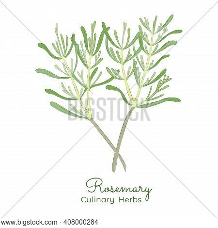 Hand Drawn Rosemary Or Salvia Rosmarinus With Color Fill And Outlines. Pastel Color Rosemary Twigs I