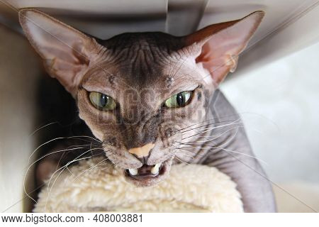 A Domestic Bald Cat Lies There, Angry And Growling, Showing Its Fangs. Portrait Of An Aggressive, An