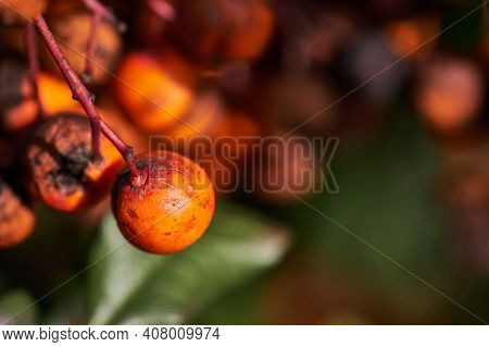Closeup Shot Of Rotting Sea Buckthorn Berries