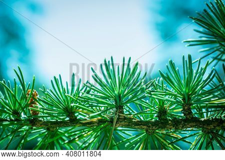 Cones Of Atlas Cedar In Green Needles-latin Name - Cedrus Atlantica