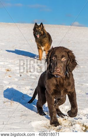 Healthy Dog. Dog's Eyes. Brown Flat Coated Retriever Puppy Outdoor On The Snow In Winter. Brown Retr