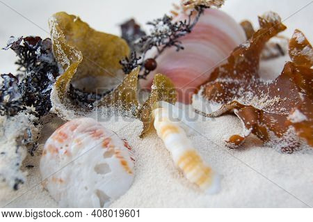 Still Life Of Caribbean Seashells. Seashells In White Sand On The Island Of Cayo Largo Del Sur.