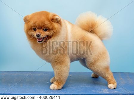 Pomeranian Pomeranian Poses After The Exhibition At Home On The Mat