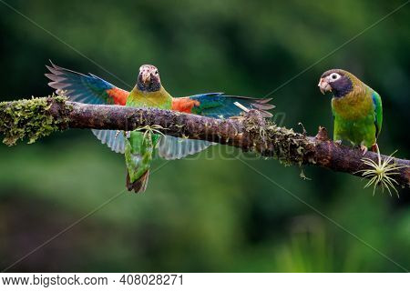 Brown-hooded Parrot - Pyrilia Haematotis Small Flying Bird In The Heavy Tropical Rain Which Is A Res