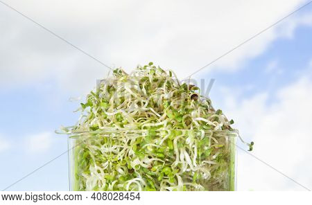 Macrobiotic Food. Mix Of Fresh Sprouts In Glass Jar. Alfalfa Sprouted Seeds. Unique And Tasty Sprout