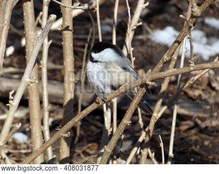 Chickadee Bird Sitting On The Tree Branch
