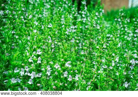 Organic Herbs. Thyme Plant Close-up. Aromatic Herbs. Seasoning, Cooking Ingredients