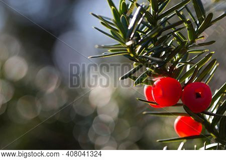 Bright Red Yew Berries On A Green Twig With Bokeh Background