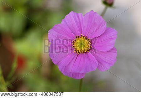 Macro Of Garden Cosmos Or Mexican Aster Flower In Horizontal Orientation, Also Known As Cosmos Bipin