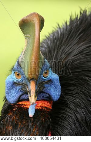 The Southern Cassowary (casuarius Casuarius) Also Known As Double-wattled Cassowary, Australian Cass