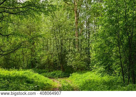 Summer Forest In Sunlight Scenery Road (footpath) Of Green Grass & Foliage. Pathway In Scene Spring