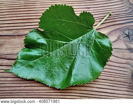 Mulberry Green Leaf On Wooden Background. Mulberry Leaf On Wood Table Background. Organic Fresh (mor