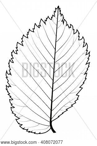 Black And White Leaf Of The Elm For Painting Models Of The Veining