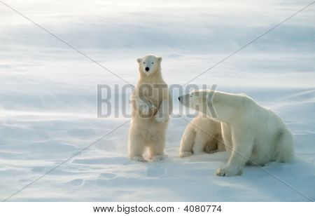 Polar Bears In Blowing Snow Storm,Soft Focus