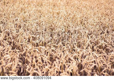 Golden Rye Field. Ripe Grain Spikelets. Cover Crop And A Forage Crop. Agricultural Concept. Summer R