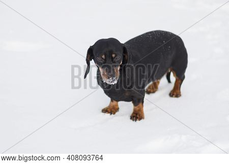 Winter Portrait Of Young Dachshund Dog With Iced Snout After An Active Search In Fresh Snow