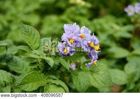 Flowering Potato. Potato Flowers Blossom In Sunlight Grow In Plant. Purple Blooming Potato Flower On