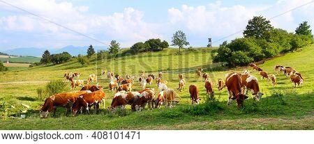 Cow Herd On The Meadow With Hunter Tower In The Background. Liptov Panorama - Low Tatras (nizke Tatr