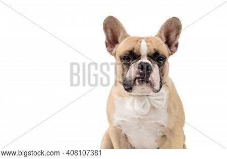 French Bulldog Feel Angry And Look At Camera Isolated On White Backgrond, Pets And Emotion Dog Conce