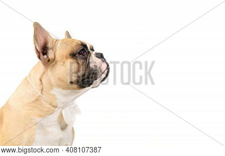 Side  View Of Cute French Bulldog Wear White Bowtie Isolated On White Background, Pets And Animal Co