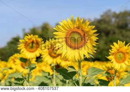 Beautiful Sunflower In Sunflower Field On Summer With Blue Sky At Lop Buri Province,thailand