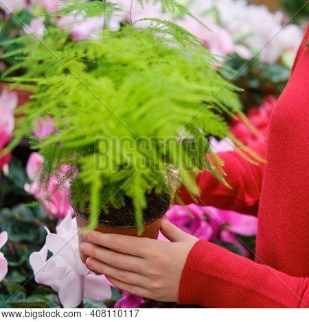Asparagus Pinnate, Care And Cultivation. Asparagus Pinnate Phototransparent, Like A Cobweb, Asparagu