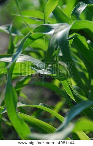 Fresh wind moves and rustles the long green stems of maize poster