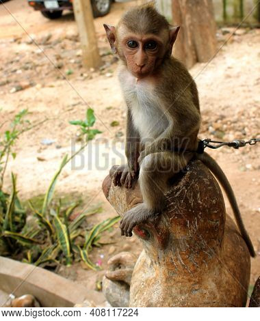 Monkey In A Monkey Temple Suratthani Thailand. A Monkey Sits On The Ground Eating Fruit. Wild Animal