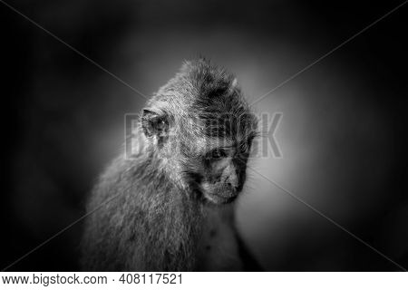 Black And White Artistic Rendition Of Classic Balinese Monkey In A Sad State Of Mind