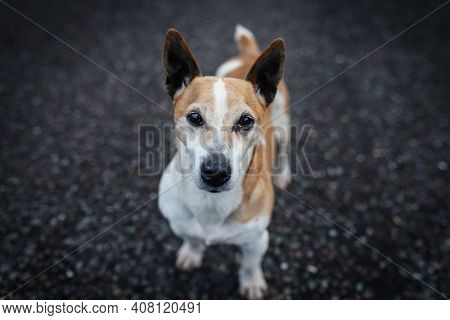 A Purebred Jack Russell Terrier Looks Straight At The Camera While Standing On Asfalt