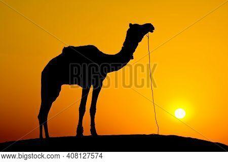 Silhouette Camel At Sunset On The Dunes Of The Thar Desert. Jaisalmer, India.