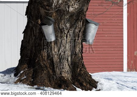 Authentic Traditional Buckets Are Used To Collect Sap To Make Maple Sugar From An Old Maple Tree Nex