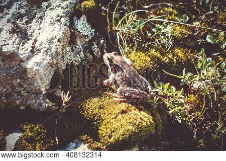 Common Frog On A Rock In Pralognan La Vanoise, French Alps.