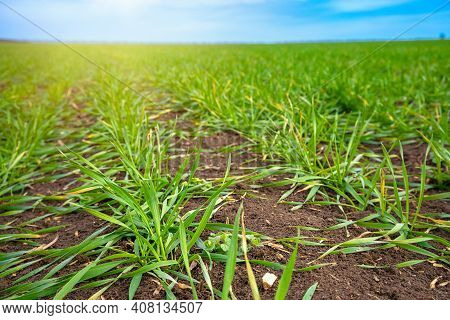 Green Winter Crops Sprouted In The Spring Sun On A Farm Field. Smooth Rows Of Agricultural Plants Go