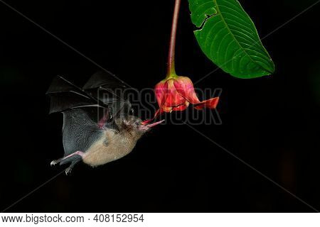Pallas Long-tongued Bat (glossophaga Soricina)  South And Central American Bat With A Fast Metabolis