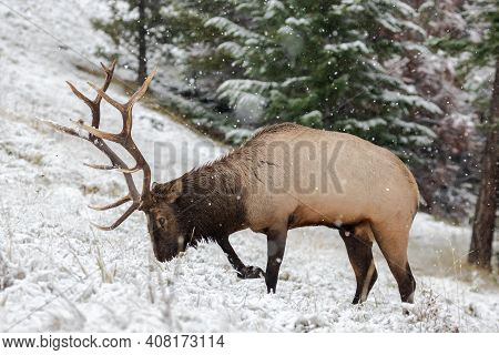 Mature Bull Elk Marking Its Territory By Peeing On One Spot.