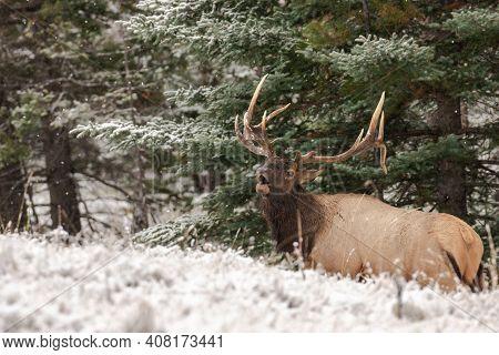 Handsome Trophy Bull Elk Bugling During Rut.