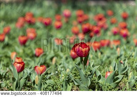 Glade Of Tulips Flowers With Open Buds. Exhibition Of Flowers In The Spring. Romantic Background. Re
