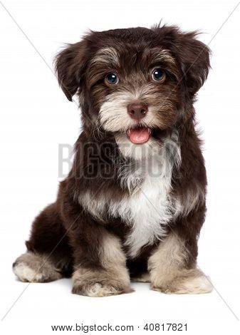 ein schöner lächelnd Chocholate Havaneser Welpen Hund