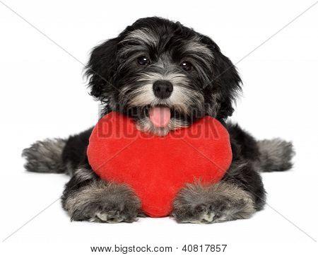 Geliebten Valentine Havaneser Welpen Hund mit einem roten Herz