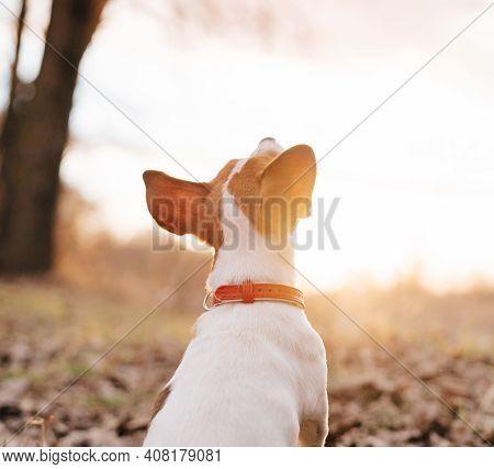 Purebred Dog Walking In Nature In Autumn Walk Fresh Air