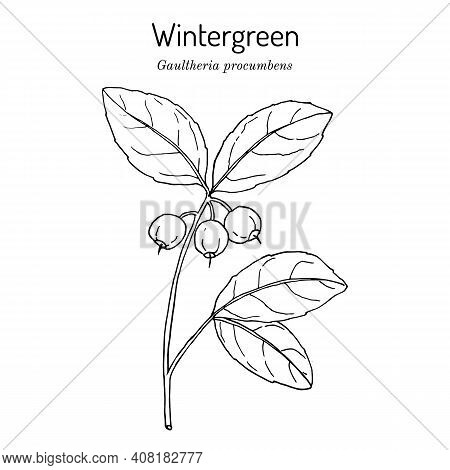 Eastern Teaberry Or Checkerberry, Or Boxberry, Or American Wintergreen - Gaultheria Procumbens - Aro