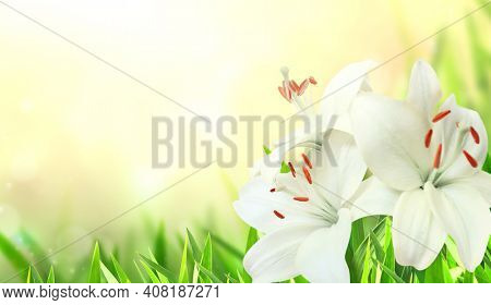 Sunny spring background with white lily flower on flowerbed. Horizontal summer banner with buds and white flower of Lilium candidum. Copy space for text