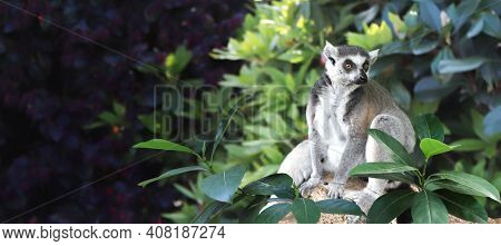 Horizontal banner with Ringtailed lemur on a branch in a rainforest. On blurred background with Lemur catta and tropical leaves. Copy space for text