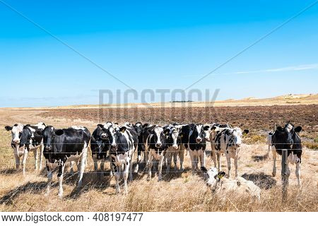Cows Grazing On The Farm In Rural South Australia While Standing Along The Fence