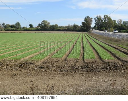 Strips Of Green Plants Or Vegetables In Andalusian Field